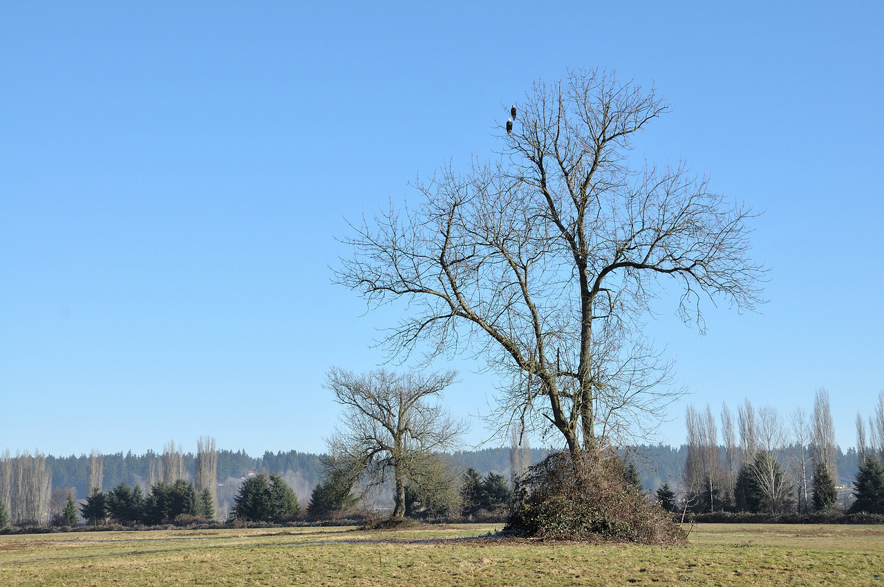"""This tree is the frequent resting spot of the Bald Eagles seen here and more frequently Red-Tailed Hawks.    I spent many hours sitting in this field and just watching the birds.  I wish I had brought the camera along more frequently.  The """"No Trespassing"""" signs have gone up now as it has been zoned for a home a tree farm.   There are many other beautiful areas here, but I will personally miss my quiet time here."""