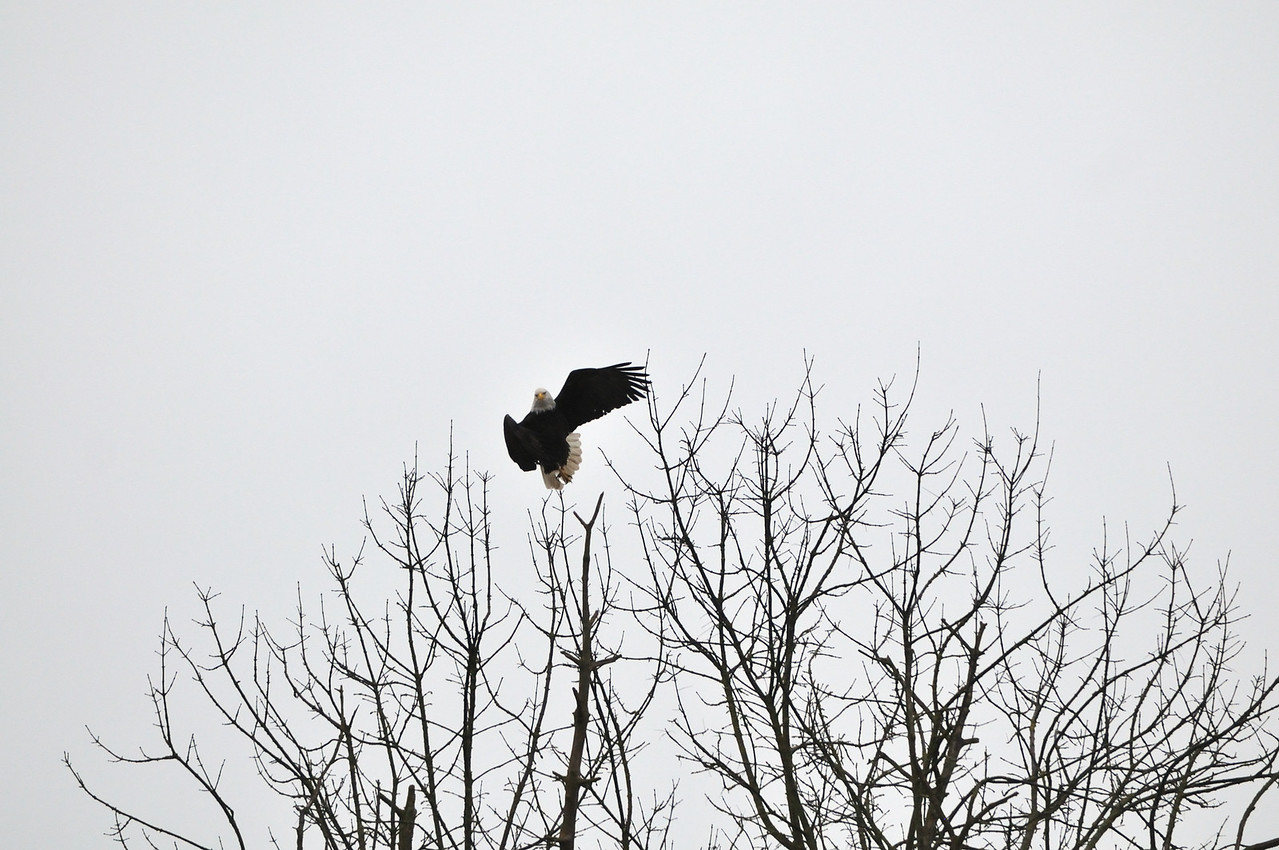 A Bald Eagle leaps into the air from the top of a tree near the Sammamish River in  Redmond, Washington.