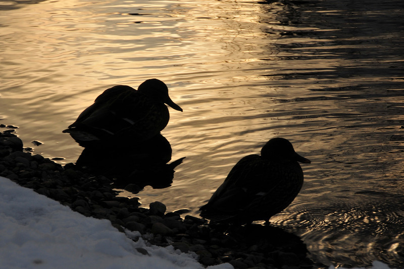 Sammamish River, dusk, Mallard, duck