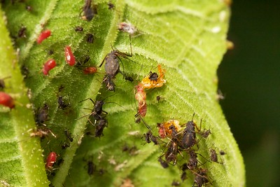 Red aphids under attack by syrphid fly larva. Most aphids in this photo are dead, having been sucked dry of hemolymph. the aphid at center is being fed on by two larva.