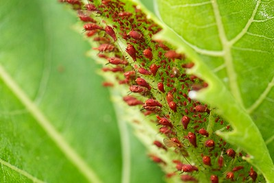 Red aphids on cup plant leaf.