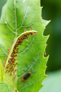 Red aphids on cup plant (Silphium perfoliatum) leaf.