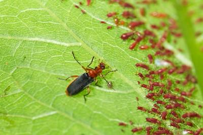 Downy leatherwing beetle (Podabrus tomentosus) preying on aphids.