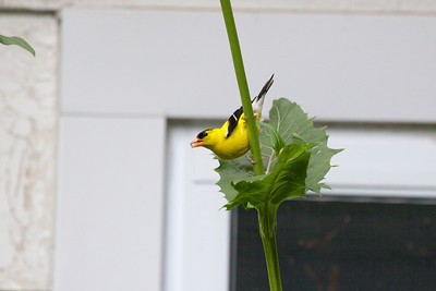American Goldfinch (Carduelis tristis) drinking from cup plant.