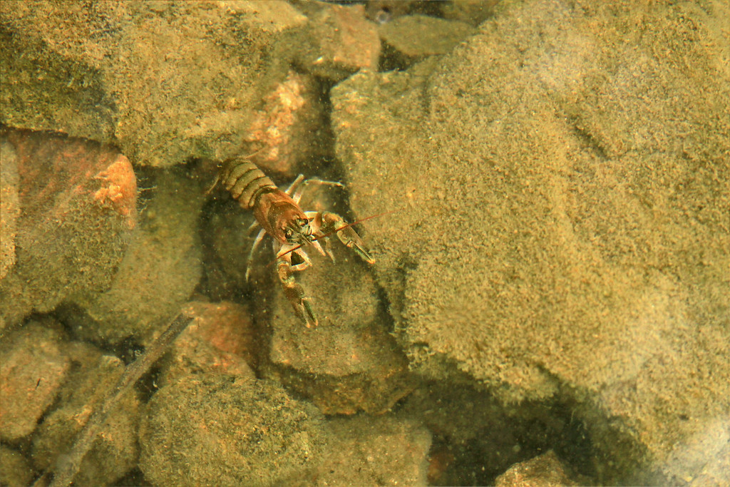 Look at me!<br /> <br /> This little crayfish came out of hiding just before I put my foot down on it.  I was happy to see it.