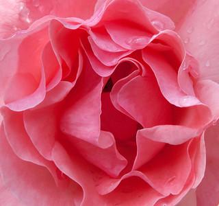 flowers  winnipeg photography, chrismcwilliamsphotography images by chrismcwilliamsphotography