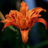 Double Bloom Orange Lily