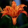 Double Bloom Orange Lily