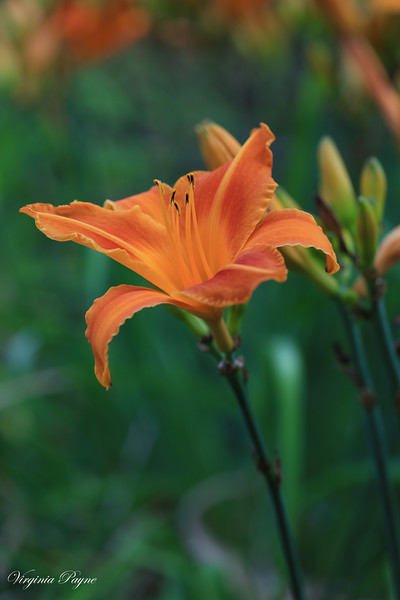 Orange Day Lilies from our neighbor's garden