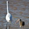 Great Egret and White Ibis juvenile