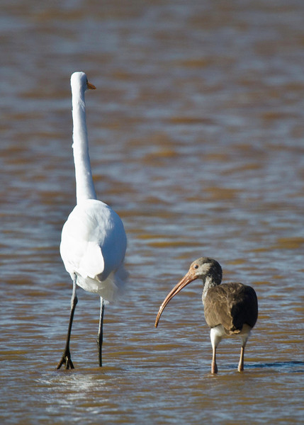Great Egret and White Ibis juvenile