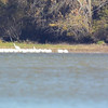 American White Pelicans on the far side of the bay