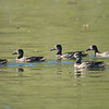 Blue-winged Teal?