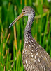 The father Limpkin