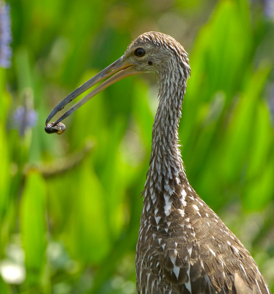 The mother limpkin