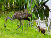 The limpkins favorite food is the apple snail and the parents' time is taken up feeding the young and teaching them the tools <br /> of the limkin trade. Here one of the parent limpkins has bagged a snail