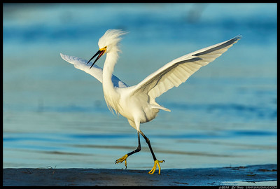 Sometimes you just have to let people know who is boss.  A Snowy Egret decides to break up a small party of other Snowy's that had just flown in for the afternoon.