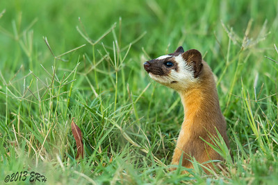 One of the juvenile Long Tailed Weasels looking around.