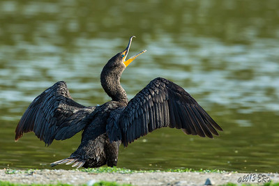 A Double Crested Cormorant showing off the wings and one sharp hook bill.