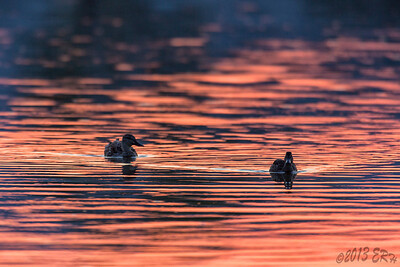 Mallards on a fiery lake.