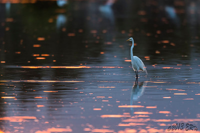 Great Egret walking across a sunset spotted lake.