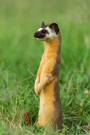 Juvenile Long Tailed Weasel 'investigating that noise'