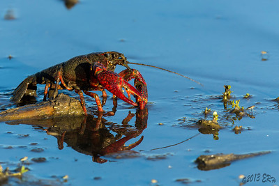 One of the many local mudbugs that inhabit the Lindo Lake area.