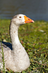 Goose portrait.  The next increment in getting close(100mm macro lens) resulted in my model getting up and walking into the lake :(