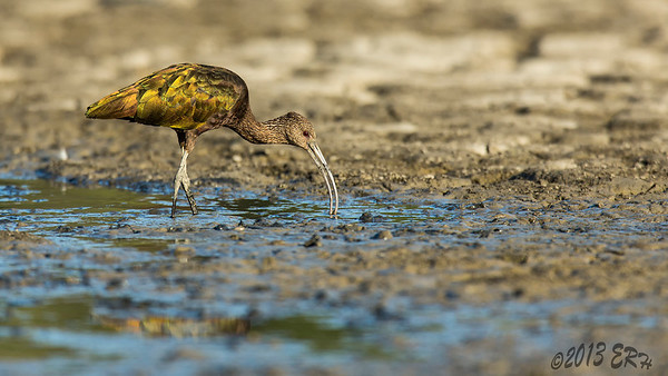 Juvenile White Faced Ibis foraging for the tasties in the mud.