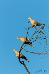 Three Eurasian Collared Doves sitting in a tree adjacent to one of the juvenile Red Shoulder Hawks.