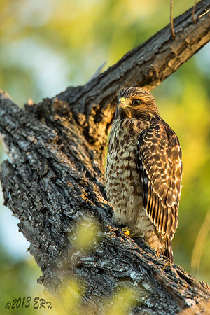 Another of the juvenile Red Shouldered Hawks.