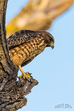 Juvenile Red Shouldered Hawk pondering all the things below.