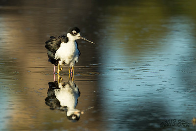 Black Necked Stilt sheltering the two chicks.  I wanted to shoot from a lower angle but after fighting with the mud, I settled for this.
