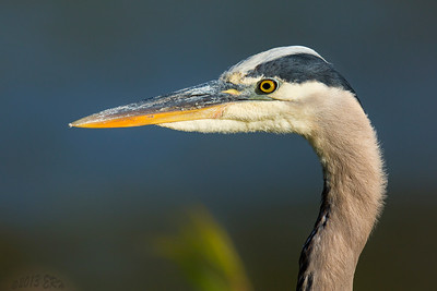 Closeup of a Great Blue Heron.