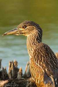 Juvenile Black Crowned Night Heron.  Flew in and pretty much disregarded me as a threat for at least thirty minutes until I finally packed up and left.