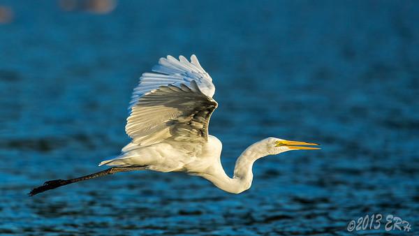 Great Egret en route to crash a stilt party.