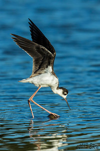An escaped(and slightly waterlogged) tennis ball provided a quandary for this juvenile Black Necked Stilt.  Pecking at it proved futile, as did chiding it for being a tennis ball.  Attempts to stand on it also met with less than success.