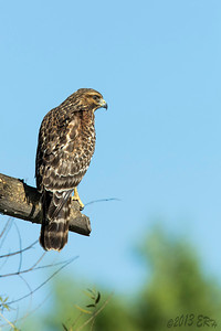 'Hrmmm and which one of these do I feel hungry for tonight?'  Juvenile Red Shouldered Hawk