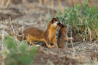 Long Tailed Weasel with a gopher in tow.