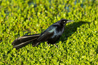 Great Tailed Grackle grudgingly poses.