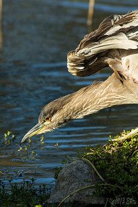 Juvenile Black Crowned Night Heron trying to find a snack.