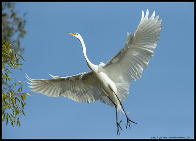 Great Egret in what seemed to be the never ending search for the perfect branch.