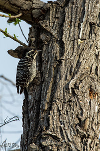 A female Nutall's Woodpecker looking for the best spot to put an extra hole in this tree.