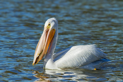 White Pelican showing off her supper for the evening.