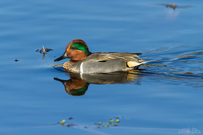Green Winged Teal cruising across the lake.