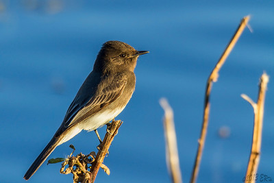 Black Phoebe perched inches above the water, just waiting for the next flying insect meal to come within range.