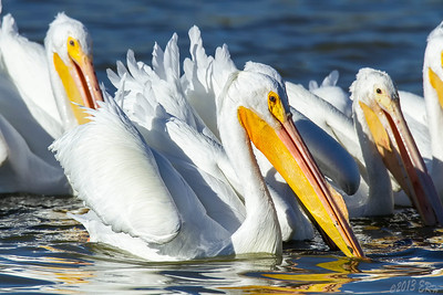 The White Pelicans move as a group while fishing.  The other one I posted with the fish moved out of the group once she caught it.