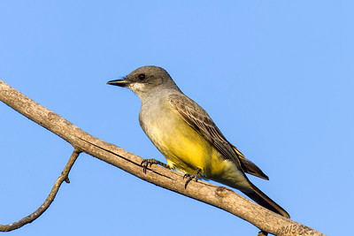 Cassin's Kingbird - Originally thought it was a Western but the experts disagree.