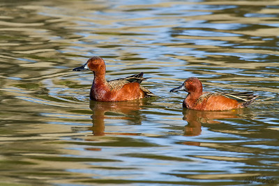A pair of Cinnamon Teal drakes.