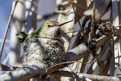 Anna's Hummingbird on her nest.